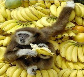 Δέκα μαϊμούδες και ένα τσαμπί μπανάνες